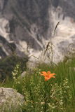 A ginger lily in Apuan Alps. A flower against an ambiental disaster Royalty Free Stock Photo
