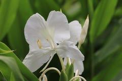 Ginger Lily-Blume, Schmetterlings-Ingwer, Schmetterlings-Lilie, Garland Flower Stockfotos
