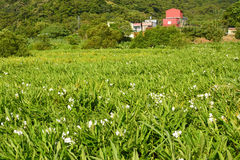 Ginger lily farm. Photo shot at Manzhou Township, Pingtung County Stock Photo