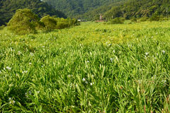 Ginger lily farm. Photo shot at Manzhou Township, Pingtung County Stock Images