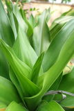 Ginger Lily or Hedychium - Close up Royalty Free Stock Image
