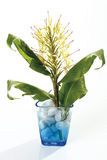 Ginger lily (Hedychium spicatum) Stock Photo