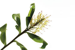 Ginger lily (Hedychium spicatum) Stock Photo