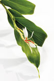 Ginger lily (Hedychium spicatum), close-up Royalty Free Stock Images