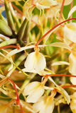 Ginger lily, Hedychium spicatum, fragrant plant Stock Image