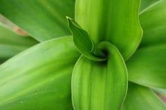 Ginger Lily ou Hedychium - ascendente próximo Fotografia de Stock