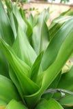 Ginger Lily ou Hedychium - ascendente próximo Imagem de Stock Royalty Free