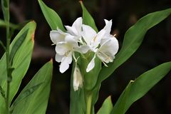Ginger lily. Sweet smell drifts from the white flower of Ginger lily native to India Stock Photo