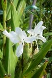 Ginger lily. / White ginger / Butterfly lily Garland flower royalty free stock image