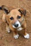Ginger Little Dog lindo, parque nacional de Yala, Sri Lanka, Asia Fotos de archivo libres de regalías
