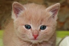 Ginger little kitten with blue eyes on a green background royalty free stock images