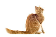 Ginger maine coon cat Stock Photography