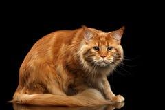 Ginger Maine Coon Cat erschrak in camera schauen, lokalisiertes Schwarzes lizenzfreies stockbild
