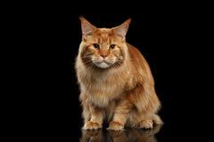 Ginger Maine Coon Cat erschrak in camera schauen, lokalisiertes Schwarzes stockfotografie