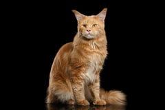 Ginger Maine Coon Cat Gaze Looks ha isolato su fondo nero fotografia stock libera da diritti