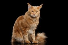 Ginger Maine Coon Cat Gaze Looks Isolated on Black Background. Angry Ginger Maine Coon Cat Sitting and Gaze Looks Isolated on Black Background Royalty Free Stock Images