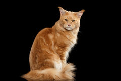Ginger Maine Coon Cat Gaze Looks Isolated on Black Background. Angry Ginger Maine Coon Cat Sitting with Furry Tail and Gaze Looking in Camera Isolated on Black Royalty Free Stock Photography