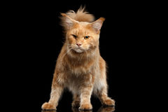 Ginger Maine Coon Cat Gaze Looks Isolated on Black Background. Angry Ginger Maine Coon Cat Standing and Gaze Looks Isolated on Black Background Royalty Free Stock Image