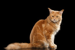 Ginger Maine Coon Cat Gaze Looks Isolated on Black Background. Angry Ginger Maine Coon Tabby Cat Sitting with Furry Tail and Gaze Looking in Camera Isolated on Royalty Free Stock Images