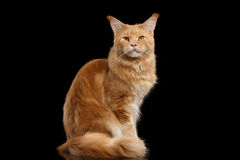 Ginger Maine Coon Cat Gaze Looks Isolated on Black Background. Tabby Ginger Maine Coon Cat Sitting with Furry Tail Isolated on Black Background Stock Photos