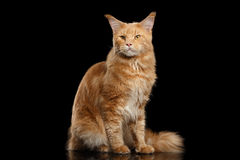 Ginger Maine Coon Cat Gaze Looks isolerade på svart bakgrund Royaltyfri Foto