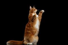 Ginger Maine Coon Cat Isolated auf schwarzem Hintergrund stockfoto