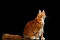 Ginger Maine Coon Cat Isolated auf schwarzem Hintergrund stockbilder