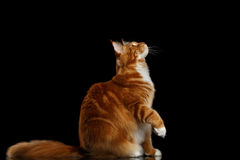 Ginger Maine Coon Cat Isolated on Black Background. Amazing Tabby Ginger Maine Coon Cat Sitting and Stare up with Furry Tail Isolated on Black Background, Side Royalty Free Stock Photos