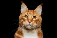 Ginger Maine Coon Cat Isolated on Black Background Stock Photos