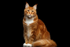 Ginger Maine Coon Cat Isolated on Black Background Royalty Free Stock Photography