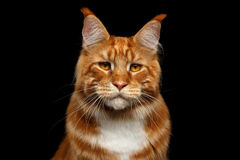 Ginger Maine Coon Cat Isolated on Black Background Stock Image
