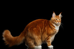 Ginger Maine Coon Cat Isolated on Black Background Royalty Free Stock Image