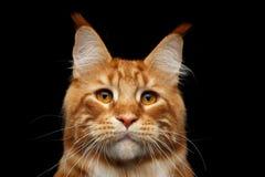Ginger Maine Coon Cat Isolated op Zwarte Achtergrond Royalty-vrije Stock Afbeelding
