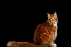 Ginger Maine Coon Cat Isolated op Zwarte Achtergrond Stock Afbeeldingen