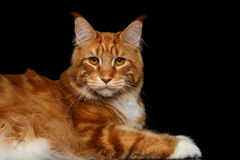 Ginger Maine Coon Cat Isolated op Zwarte Achtergrond Stock Foto