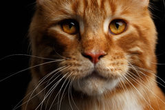 Ginger Maine Coon Cat Isolated op Zwarte Achtergrond Royalty-vrije Stock Foto