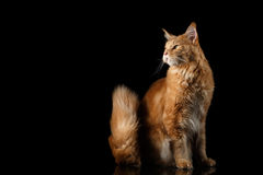 Ginger Maine Coon Cat Isolated su fondo nero Fotografia Stock Libera da Diritti