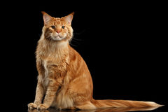 Ginger Maine Coon Cat with Long Tail Sitting Isolated Black Stock Images