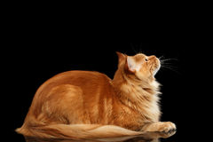 Ginger Maine Coon Cat Lying, cercante isolato sul nero Immagini Stock