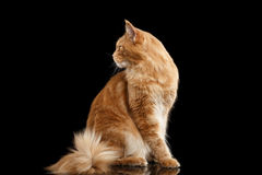 Ginger Maine Coon Cat, Profile view Isolated on Black Background Royalty Free Stock Photos