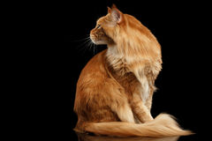 Ginger Maine Coon Cat Sitting, Curious Looking Back, Isolated Black Royalty Free Stock Images