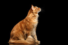 Ginger Maine Coon Cat Sitting, Curious Looking up, Isolated Black Royalty Free Stock Image