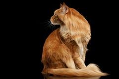 Ginger Maine Coon Cat Sitting, neugieriges zurück schauen, lokalisiertes Schwarzes Lizenzfreie Stockbilder
