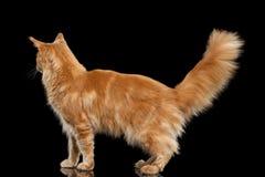 Ginger Maine Coon Cat Standing Isolated auf schwarzem Hintergrund Stockbilder
