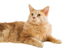 Ginger maine coon cat Royalty Free Stock Photo