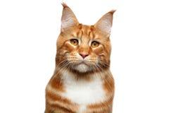 Ginger Maine Coon-Katze lokalisiert auf weißem Hintergrund stockfotografie