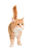 Ginger mixed breed cat on white Stock Photo