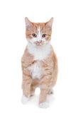 Ginger mixed breed cat on white Stock Photography