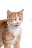 Ginger mixed breed cat on white Royalty Free Stock Images