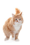 Ginger mixed breed cat on white Stock Image